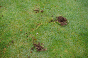 Strange holes in lawn this morning