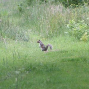 Grey squirrel (and rabbit)