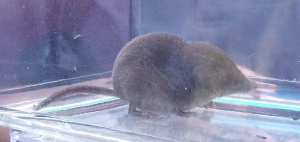 Sorex shrew species