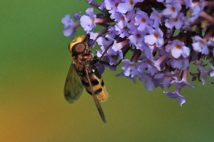 Hoverfly9577