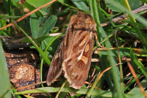 Moth on moorland