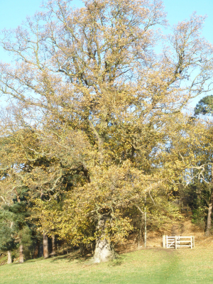 Mature Oak Tree
