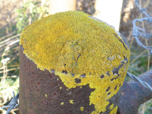 Lichen on Gatepost