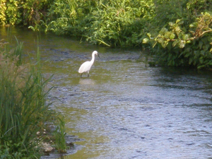 Egret on Ditchingham Dam