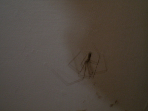 Daddy-longlegs-spider with eggs?