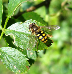 Please ID this hoverfly