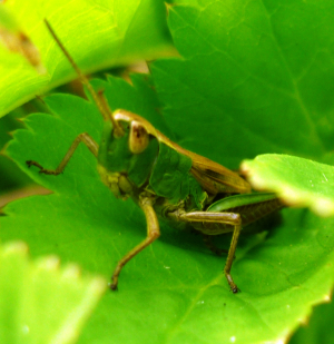Improved picture of green-brown grasshopper