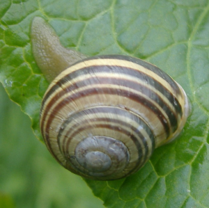 snail with its tail poking out!