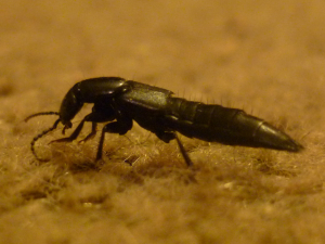 Thin black beetle found indoors