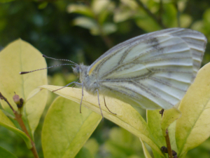 Probably a green-veined white