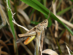 Grasshopper with orange abdomen to ID