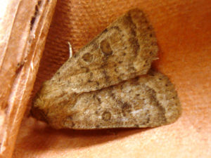 Brown moth to ID 2