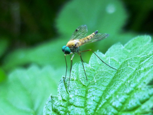fly with blue eyes to ID