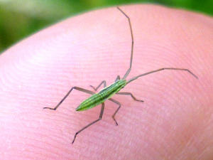 Green insect to ID