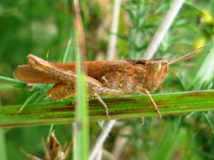 grasshopper to ID