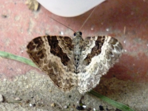 Moth to ID