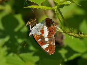 White Admiral and wasp