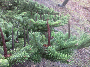 Spruce with cone stubs
