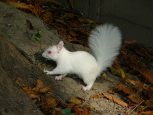 Albino squirrel
