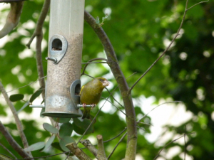 greenfinch pair