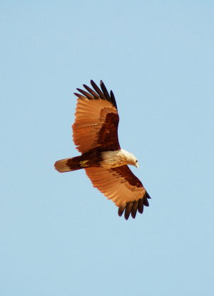 Brahminy Kite, Goa, India