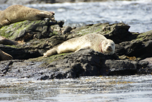 Common/Harbour Seal?