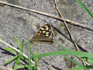 Female Wall Brown (Lasiommata megera)