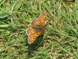 Possible Glanville Fritillary