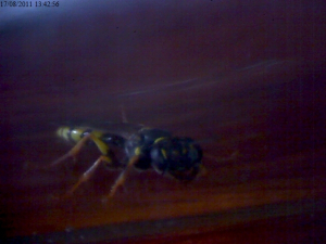 solitary wasp(?)