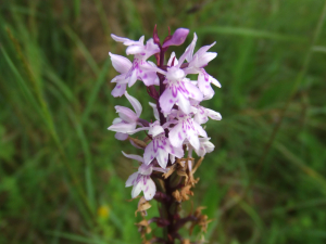 Orchids common spotted