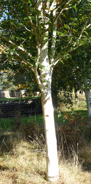 Very white birch