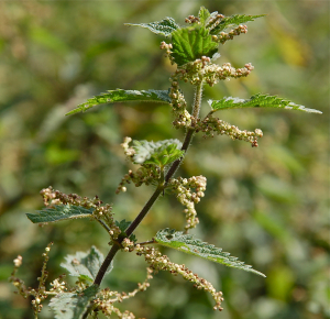 Common Nettle