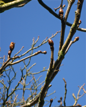 Horse chestnut in bud