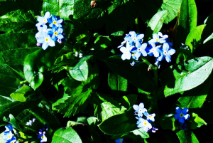 Forget-me-not?