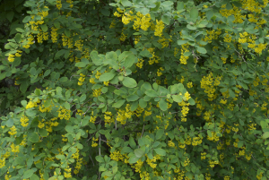 Yellow flower like a flowering currant?