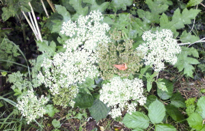Another Umbellifer