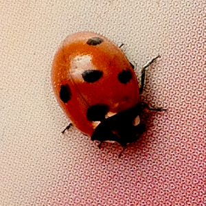 Which sort of Ladybird?