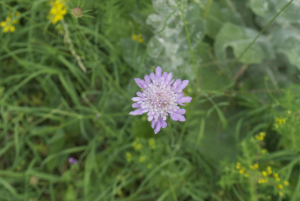 Which Scabious?