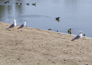Ring-billed Gull?
