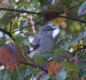 Northern Mockingbird?