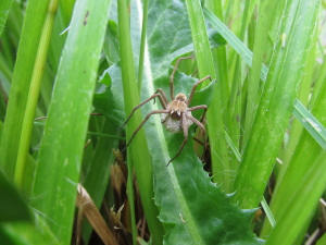 Spider with eggsac