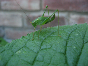 Speckled bush-cricket?