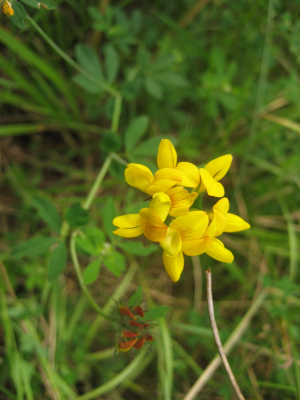 Bird's foot Trefoil?