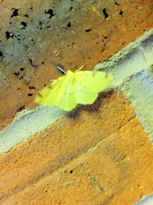 Brimstone Moth (not Yellow Butterfly)