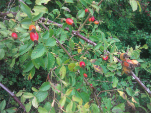 Rosehips (dog rose)