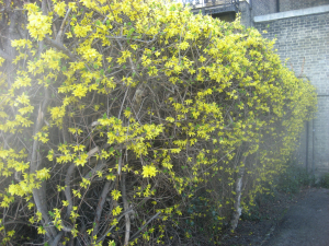 Yellow Hedge Forsythia