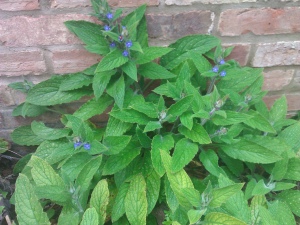 Garden plant with blue five petal flowers.