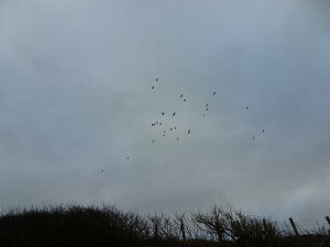 Jackdaws Colhugh Cliffs