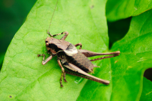 Is this a bush cricket - Pholidoptera griseoaptera? ID help please.