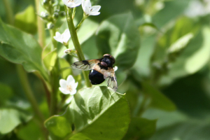 Volucella pellucens - possibly. ID help please
